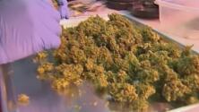 Californianos mayores de 21 años podrán llevar consigo hasta una onza de marihuana