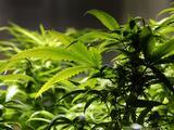 Ventas de marihuana recreacional sumaron $75.2 millones en noviembre