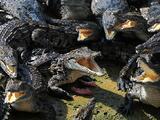 Cocodrilos africanos amenazan los Everglades