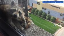 La odisea de un mapache atrapado en un rascacielos que trepó 25 pisos para salvarse y no caer al vacío