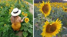 Más radiante que nunca: regresa el campo de girasoles al Dorothea Dix Park en Raleigh