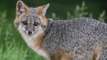 Por culpa de un zorro, lanzan una alerta en Weston por un peligroso brote de rabia