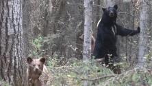 Este cazador arriesga su vida por acercarse a grabar a una osa madre y sus cachorros