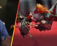 """""""Me quedo bruto"""": Cuestionan el sistema jurídico por ignorar leyes que prohíben peleas de gallos"""