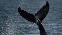 ¿Una ballena con cuatro patas?: El descubrimiento que tiene asombrado a los científicos