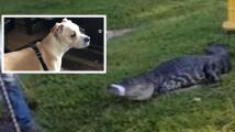 Un caimán se traga un perro de 40 libras en un solo mordisco