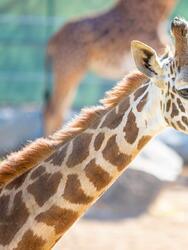 """Los funcionarios del zoológico Chaffee de Fresno están emocionados de dar la bienvenida a la jirafa Masai, Kiden. El personal de cuidado de animales trabajó para presentarle a Kiden su nuevo hogar y las otras jirafas. Los huéspedes ahora pueden verla en la sabana del zoológico """"African Adventure"""""""