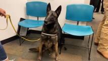 """""""Cobra"""" y """"One Betta"""": los perros que detectan el coronavirus en el aeropuerto de Miami"""
