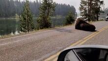 Captan en video a un enorme bisonte tomando una siesta a la mitad de la carretera