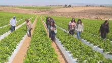 La historia de superación de una familia hispana que encontró en el cultivo de fresa su sueño americano
