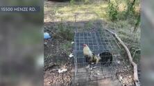 Arrestan a al menos tres personas tras asegurar un lugar de peleas de gallos clandestinas en el condado Bexar