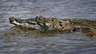 Avistan un cocodrilo en una de las playas de Key Biscayne