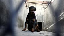 Niño de 10 años y tres personas más son atacadas por dos perros rottweiler en Raleigh