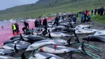 """La matanza """"récord"""" de 1,400 delfines despierta duras críticas"""