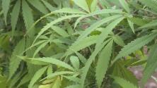 Entra en vigor ley que permite una segunda oportunidad a convictos por posesión de marihuana