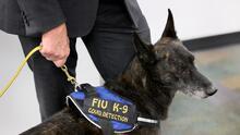 Si estos perros lo huelen en el aeropuerto de Miami saben si tienes coronavirus