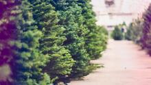 Escasos y 25% más caros: crisis de suministro convierte en una odisea conseguir un árbol de Navidad para Acción de Gracias