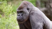 Dieciocho de los 20 gorilas del zoológico de Atlanta dan positivo con covid-19