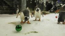 En video: Así celebran la Navidad estos pequeños pingüinos con un acuario decorado solo para ellos