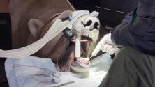 Los osos polares también van al dentista: mira cómo un doctor le arregló un diente a un oso de 1,300 libras