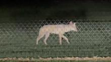 El departamento de control animal de Dallas alerta a los residentes ante un aumento de coyotes