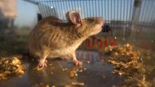 Residentes de un complejo de apartamentos quedan libres de una invasión de ratas gracias a Univision 23