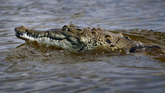 Si vives en Key Biscayne, nada con cuidado: algunos bañistas se toparon con un cocodrilo en la playa