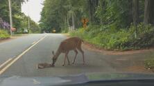 El videíto: Esta madre ayuda a su temeroso ciervo a salir del peligro en medio de una carretera