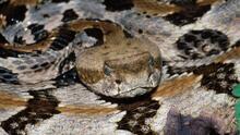 Estas son las serpientes venenosas que puedes encontrar en Carolina del Norte