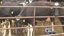 Altas temperaturas podrían reducir la producción de leche