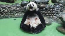 El videíto: La ternura de este panda mientras se da un chapuzón en una piscina