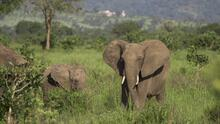 Un collar de radiomarcaje tamaño elefante busca salvar a esta especie en Tanzania