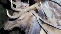 Tuvo una llanta atascada en el cuello por dos años: liberan a un alce que paseaba por el bosque de esta insólita forma
