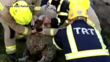 Bomberos salvan a esta oveja de una muerte segura