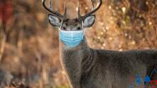 """""""No sabemos cómo"""": Confirman Covid -19 en población de ciervos"""