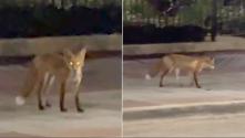 ¿Zorro o Coyote? Captan en cámara a este animal deambulando por el centro de Chicago
