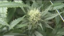 Aprueban ampliar cultivo de marihuana