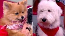 Bombom y Luna nos derritieron de ternura en este desfile de moda navideña para mascotas