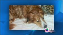 Caimán mata a mascota en lago residencial en Sunrise