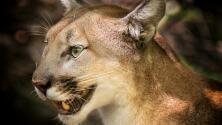 Niño de 5 años es atacado por un león de montaña en Los Ángeles, esto se sabe