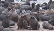 Inesperada invasión de leones marinos en una playa de Chile