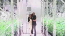 Pareja contrae matrimonio en Las Vegas rodeados de matas de marihuana
