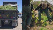 """""""Es una operación grande"""": entregan detalles del decomiso de cultivos ilegales de marihuana en el Valle del Antílope"""