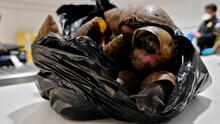Incautan casi dos docenas de peligrosos caracoles gigantes en el aeropuerto JFK