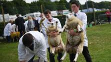 ¿Cuánto pagarías por una oveja? Esta hizo historia al venderse en casi medio millón de dólares
