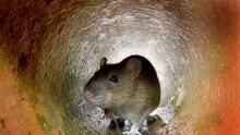 Hallazgos del censo: región de Filadelfia ocupa el primer lugar en cuanto a roedores en los hogares