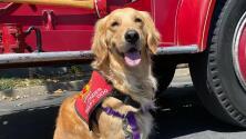 Perros de terapia: Kerith, la golden retriever que brinda amor y consuelo en los momentos difíciles