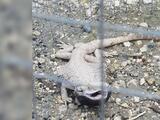 Un dragón barbudo, que no es originario de Puerto Rico, es rescatado en Moca