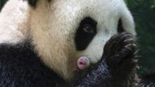 """""""Nacimientos excepcionales"""": Una panda gigante da a luz a dos gemelas tras 8 horas de labor de parto"""