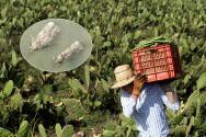 Una plaga amenaza los cultivos de nopales en México y científicos en Texas luchan para evitar su propagación